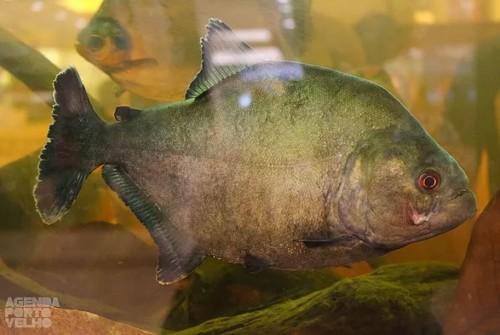 II Exposição Peixes do Rio Madeira